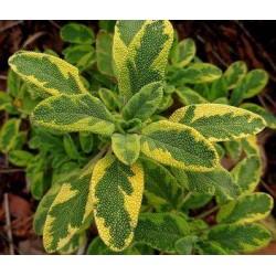 Salvia officinalis bicolor