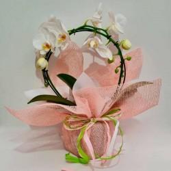 Orquídea phalaenopsis arco