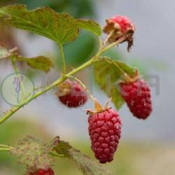 Frambuesa roja tayberry