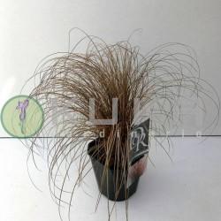 Carex comans bronce