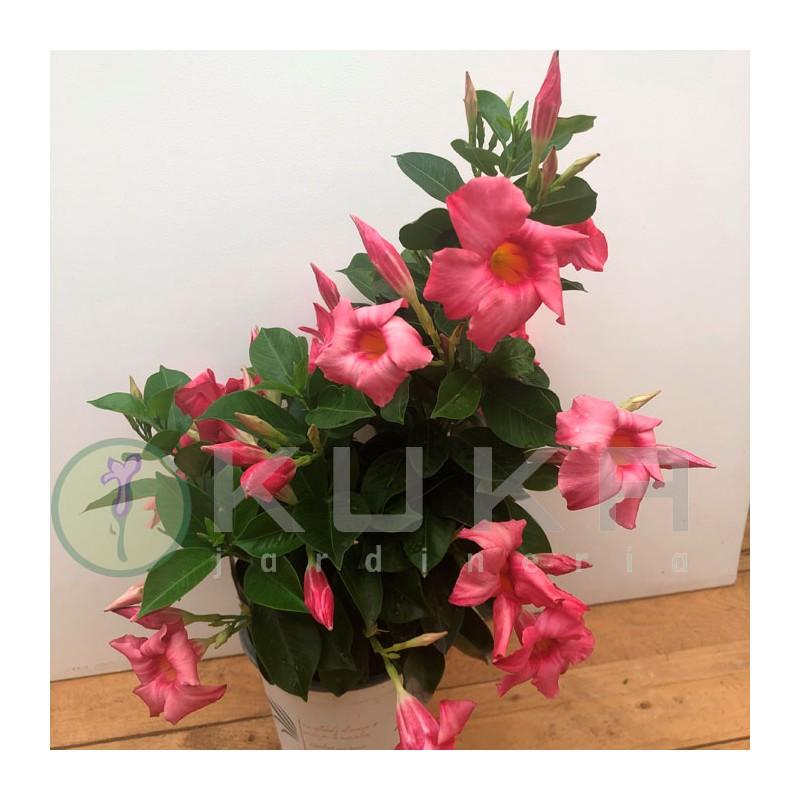 Anthurium turenza rojo