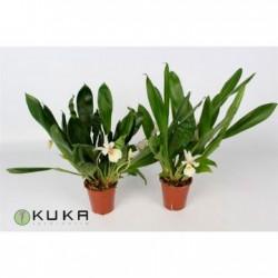 Orquídea cochleanthus