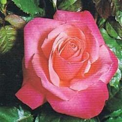 Rosal Romantica