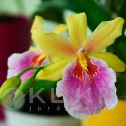 Orquídea sunset