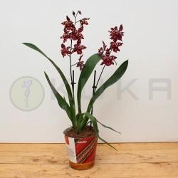 Orquídea odontioda stirbic