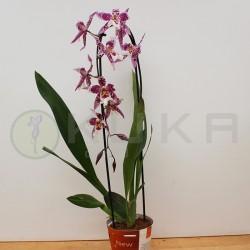 Orquídea colmanara