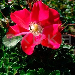 Rosal candia meidiland
