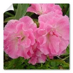 Rosal Banksiae Rosea