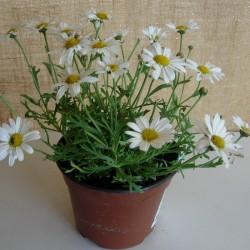 Margarita flor pequeña