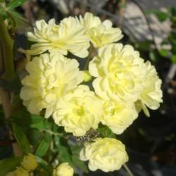 Rosal Banksiae Lutea Plena