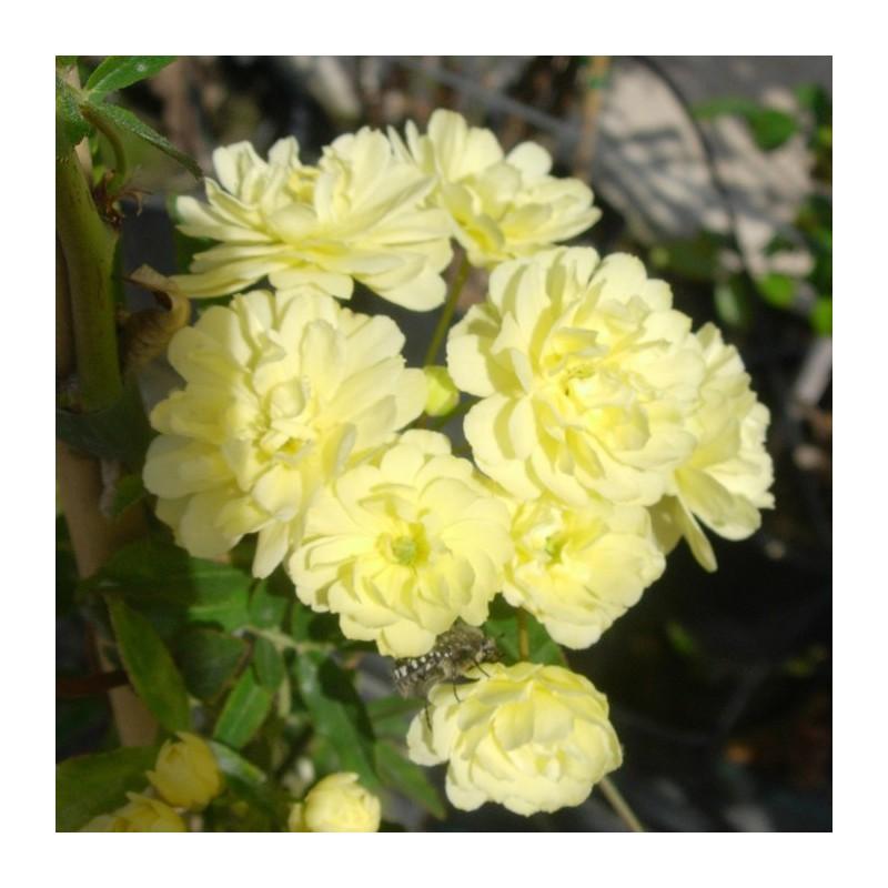 Rosal banksiae lutea plena|rosal sin pinchos|rosal trepador|rosal amarillo