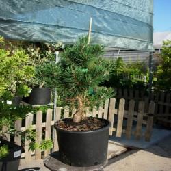 Pinus Mugo Gnom.