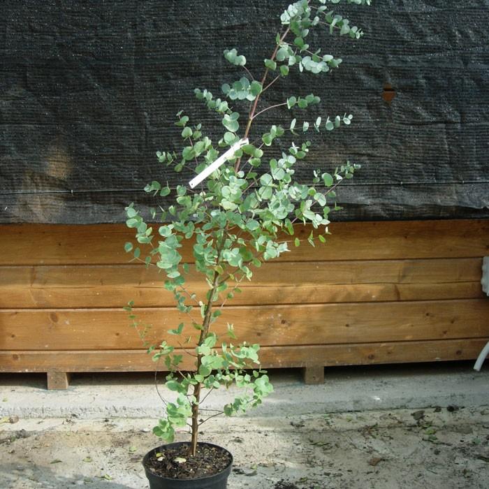 eucalipto en maceta