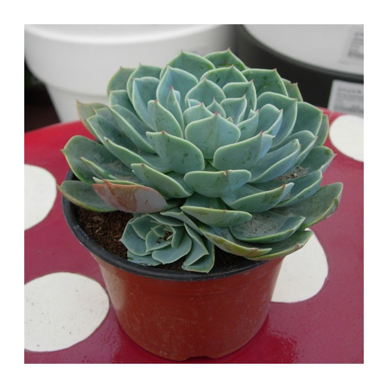 Cactus echeveria glauca for Cactus cuidados exterior