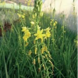 Bulbinia Frutescens