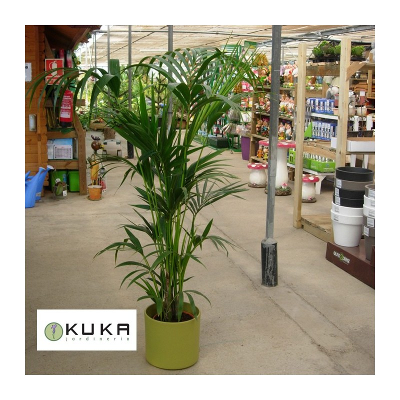 Kentia howea fosteriana palmera tropical palmera de for Plantas de interior precios