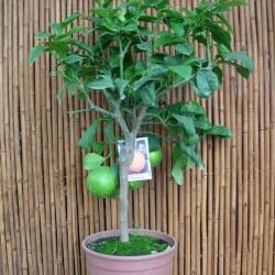 Citrus Bergamoto