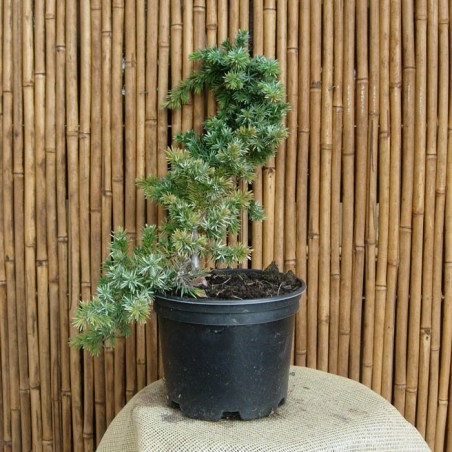 Juniperus Conf. Blue Pacific