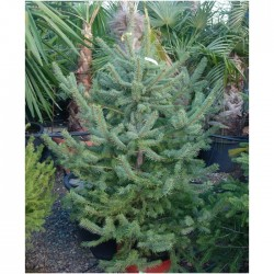Picea Pungens Glauca-Apache