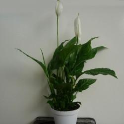 Spathiphyllum Straus