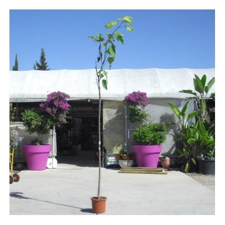 Catalpa bignoinoides