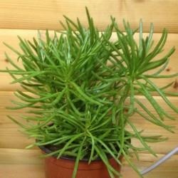 Senecio Cylindricus