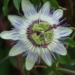 Passiflora caurilea