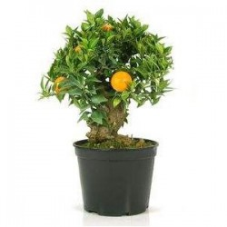 Pre-bonsái citrus