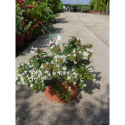 Abelia grandiflora postrata