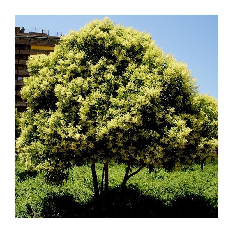 Ligustrum japonica
