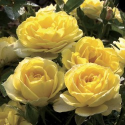 Rosal trepador gold symphonie