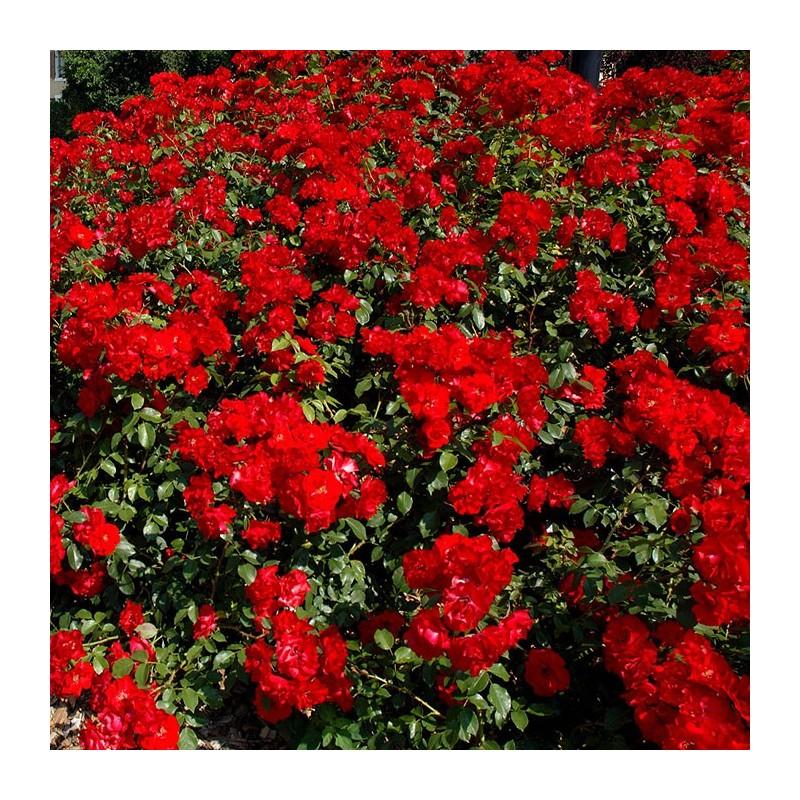 Rosal trepador la sevillana rosal trepador comprar rosales for Viveros el rosal