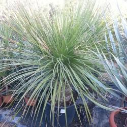 Dasylirion serratifolium
