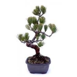 Bonsái pinus pentaphylla
