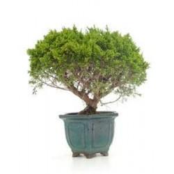 Bonsái juniperus chinensis