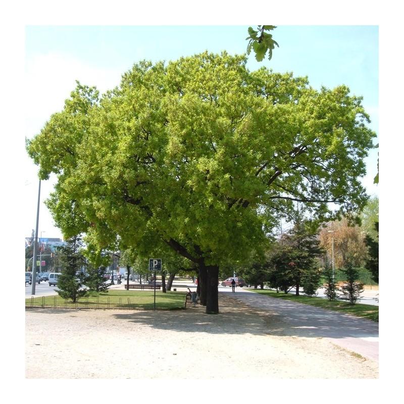 Quercus humilis pubescens