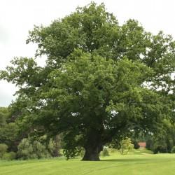 Quercus robru