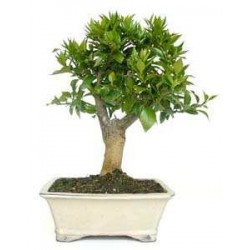 Bonsái citrus bonsai