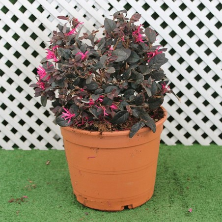 LOROPETALUM CHINENSIS