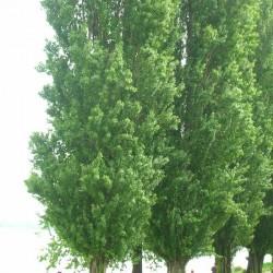 Populus italica nigra