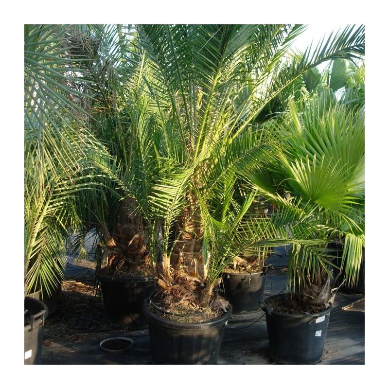 Plantas palmeras phoenix reclinata for Iluminacion para palmeras