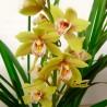 Orquídea cymbidium