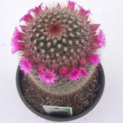Cactus mammillaria spinosissima