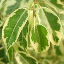 Ficus Benjamina Gantel