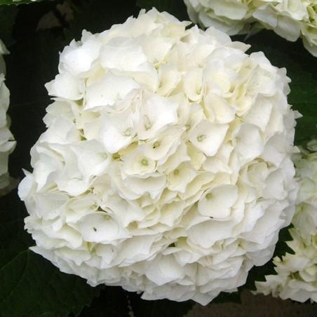 Hortensia de interior