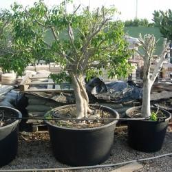 Ficus benjamina macrobonsai