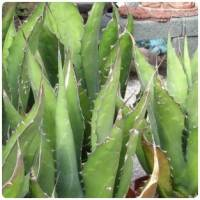 Cactus agaves