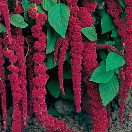 Semillas amaranto