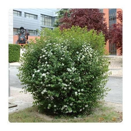 Arbustos