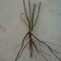 Rosales a raíz desnuda
